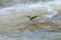 Grey Wagtail on the river Stock Photography