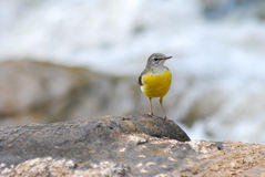 Grey Wagtail on the rock Royalty Free Stock Photography