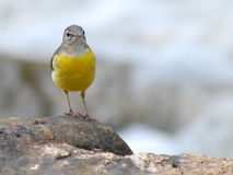 Grey Wagtail on the rock Stock Image