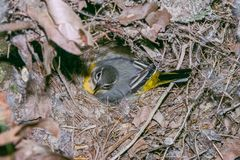 Grey wagtail sitting on eggs Stock Photos