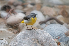 Grey wagtail standing on a rock Royalty Free Stock Photo