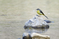 Grey Wagtail Royalty Free Stock Photography