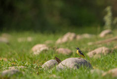 Grey Wagtail on a stone Royalty Free Stock Photography
