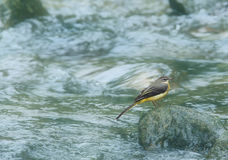 Grey Wagtail on a stone Royalty Free Stock Photos