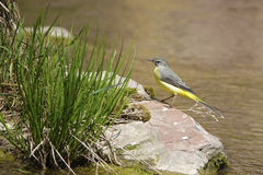 Grey Wagtail Stock Photos