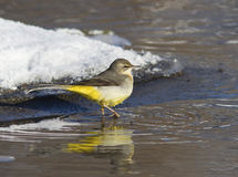 Grey Wagtail on the winter ice-stream. Royalty Free Stock Image