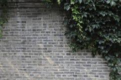 Grey wall. Creeper on the Gray wall Royalty Free Stock Image