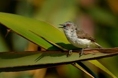 Grey warbler - Gerygone igata - riroriro common small bird from New Zealand royalty free stock image