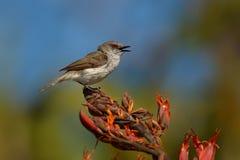 Grey warbler - Gerygone igata - riroriro common small bird from New Zealand.  stock images