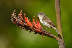 Grey warbler - Gerygone igata - riroriro common small bird from New Zealand stock image