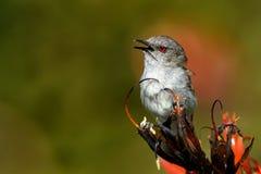 Grey warbler - Gerygone igata - riroriro common small bird from New Zealand.  royalty free stock photography