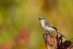 Grey warbler - Gerygone igata - riroriro common small bird from New Zealand stock photos