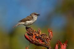 Grey warbler - Gerygone igata - riroriro common small bird from New Zealand stock photography