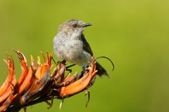 Grey warbler - Gerygone igata - riroriro common small bird from New Zealand royalty free stock photo