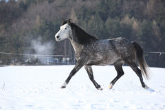 Grey horse running in winter Stock Photo