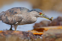 Grey water bird night heron sitting on the stone, in the water, fish in the bill. USA Royalty Free Stock Image