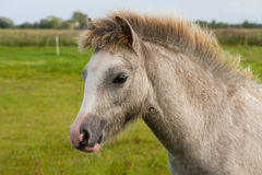 Grey Welsh pony foal. In the field Royalty Free Stock Photography