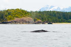 Grey Whale Royalty Free Stock Images