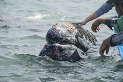 Grey whale approaching a boat. Hands while caressing and touching a grey whale stock images