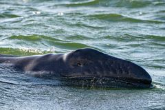 Grey whale baby with dangered eye. In pacific ocean at sunset stock image