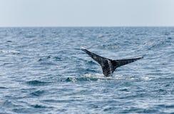 Grey Whale-Endstück stockfotos