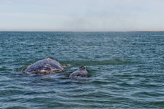 Grey whale mother and calf Royalty Free Stock Photo