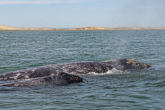 Grey whale mother and calf. In the Pacific ocean stock photo