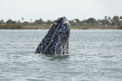Grey whale mother nose going up Royalty Free Stock Photography