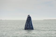 Grey whale mother nose going up Stock Photos