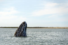 Grey whale mother nose going up Royalty Free Stock Photo