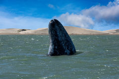 Grey whale mother nose going up Royalty Free Stock Photos