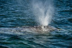 Grey whale nose travelling pacific ocean. In baja california royalty free stock image