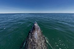 Grey whale nose travelling pacific ocean. In baja california royalty free stock photos