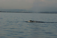 Grey Whale outre de Colombie-Britannique de Vancouver Photos libres de droits