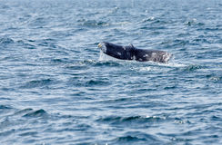 Grey Whale-staart Royalty-vrije Stock Foto