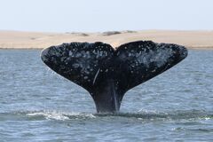 Free Grey Whale Tail Going Down In Bahia Magdalena Sand Dunes Background Stock Image - 169734441
