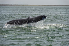 Grey whale tail going down in ocean Stock Images