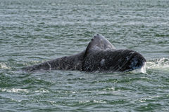 Grey whale tail going down in ocean. Grey whale tail going down in pacific ocean royalty free stock photography