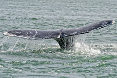 Grey whale tail going down in ocean. Grey whale tail going down in pacific ocean stock photos