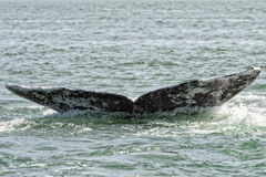 Grey whale tail going down in ocean Royalty Free Stock Photo