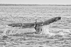 Grey whale tail going down in ocean Stock Photo