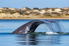 Grey whale tail going down in ocean at sunset Stock Image