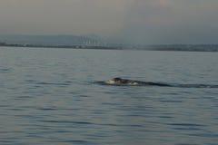 Grey Whale weg von Vancouver-Britisch-Columbia lizenzfreie stockfotos