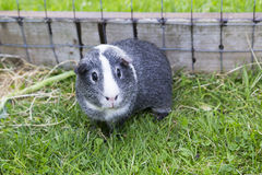 Grey & White Agouti Guinea Pig Royalty Free Stock Photo