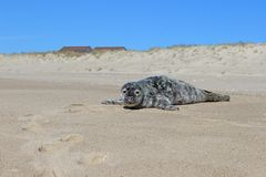 Grey and white harbor seal pup sunning on sandy coastal ocean beach stock photos
