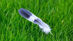 Grey and white bird feather on green grass background royalty free stock photography