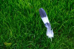 Grey and white bird feather on green grass background stock photo