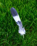 Grey and white bird feather on green grass background royalty free stock photo