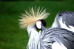 Grey White and Black Bird Royalty Free Stock Photo