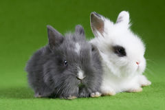 Grey and white bunny, isolated on green Royalty Free Stock Photo